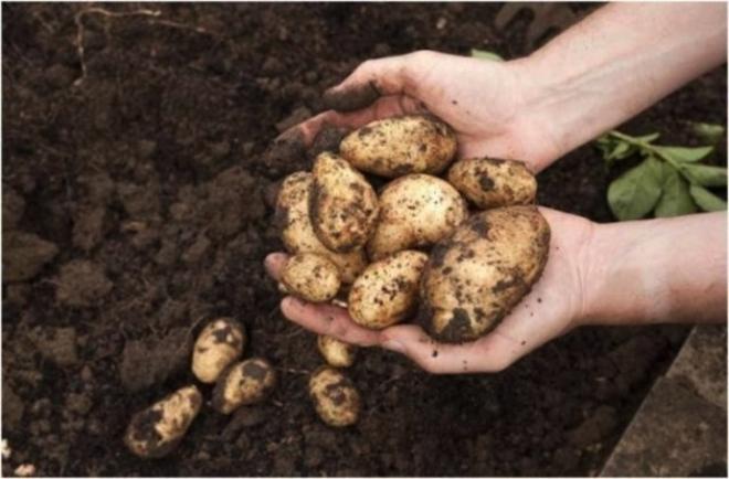 Цело семејство почина од стар компир