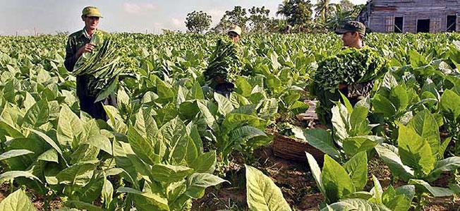 Дождот добредојден за тутунот  велат производителите